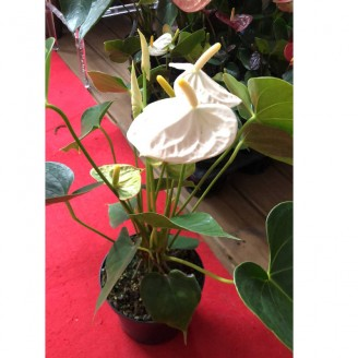 ANTHURIUM COLORE EN POT