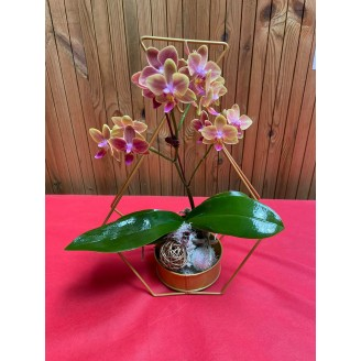 ORCHIDEE COLORE