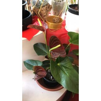 Anthurium (petit)